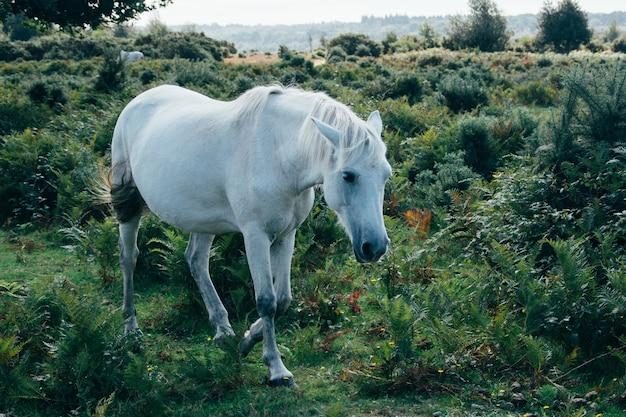 목초지에서 방목하는 백마의 풍경