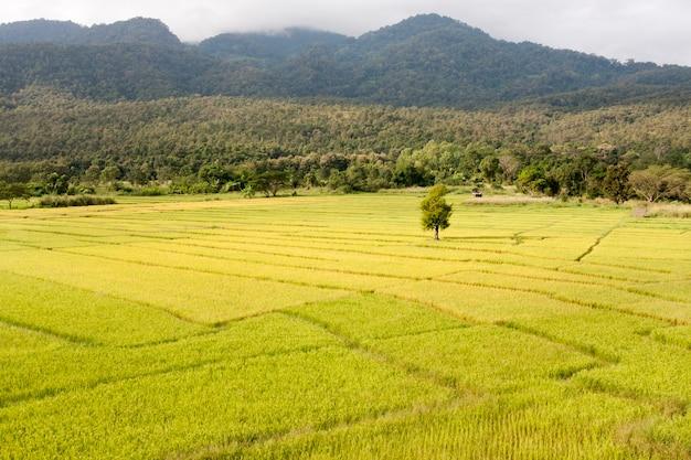 태국 치앙마이의 노란 논 풍경