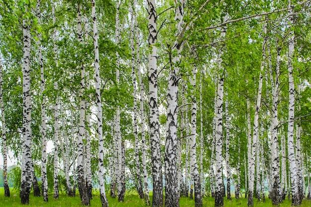 Пейзаж с видом на весеннюю зеленую березовую рощу