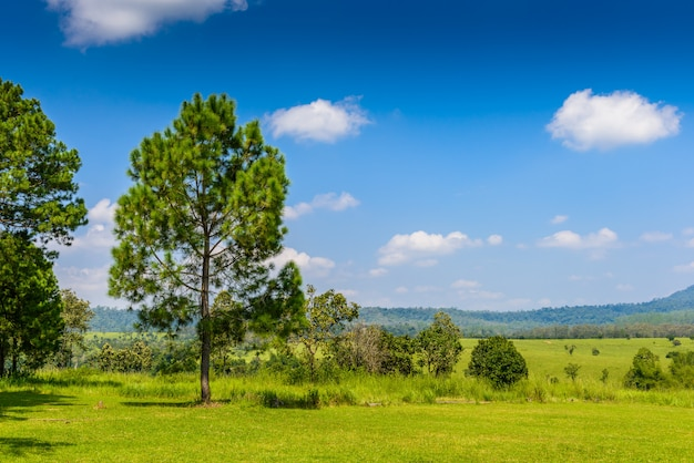 Landscape pine forest with a blue sky and white clouds in the spring afternoon