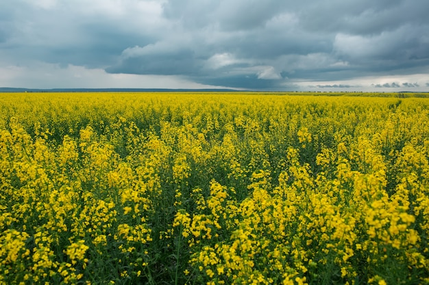 Landscape of rapeseed field with cloudy sky in rainy day.