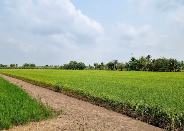 Landscape rice field on cloud and blue sky background