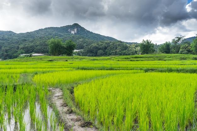 치앙마이 풍경 쌀 필드 1
