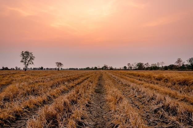 Пейзаж рисового поля летним утром, земля потрескалась от засухи. Premium Фотографии