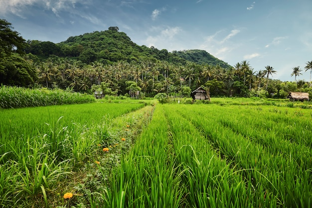 Landscape of rice terrace in bali