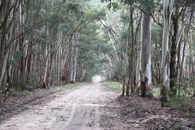 Landscape of the road in the eucalyptus forestation