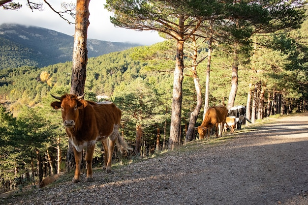 Landscape shot of cows in a forest area