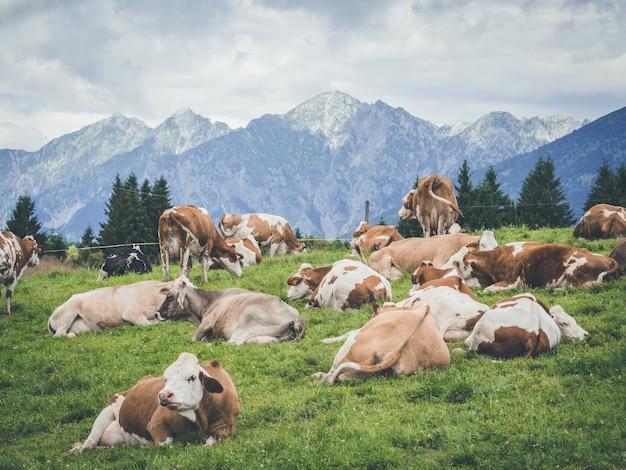 Пейзажный снимок коров разных цветов, сидящих на траве в горной местности