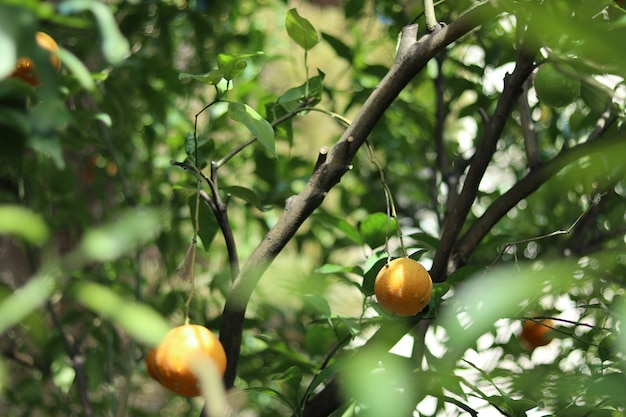 Landscape shot of orange fruit in the branches with blurry green leaves