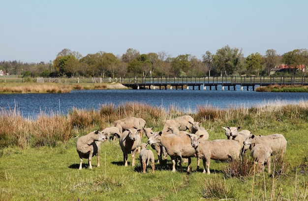 Landscape shot of sheep in a rural area with a river surrounded by trees