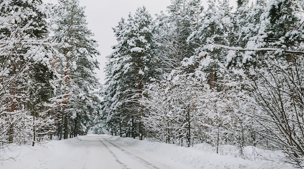 Landscape of a snow-covered pine forest in a snowfall