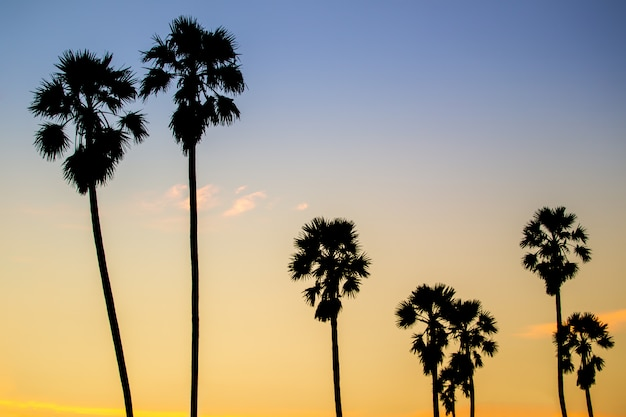 Landscape of sugar palm trees in the countryside during the beautiful sunset sky.