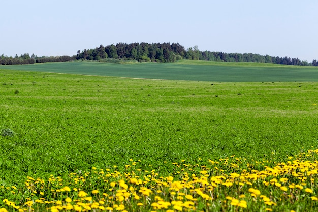 Landscape in summer with green vegetation and blue sky, on the edge of the field grow yellow dandelions