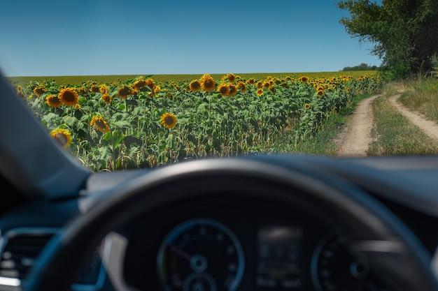 Landscape of sunflowers field near village road through car window.