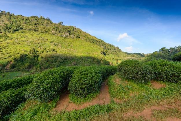 Landscape of  tea plantation at doi ang khang