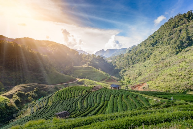 Landscape of tea plantation at doi ang khang