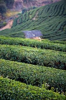 Landscape of tea plantation field on mountain , chiang mai , thailand