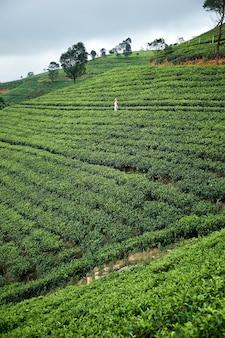 Landscape tea plantation of lipton