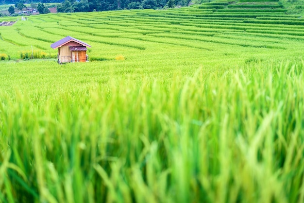 Landscape terraced green paddy rice field with small bamboo hut, chiang mai, thailand