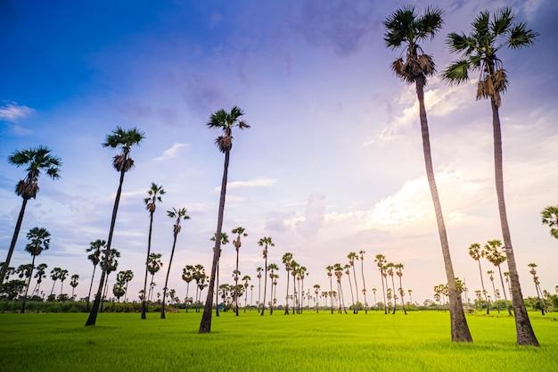 田んぼとシュガーパームの木に沈む夕日の風光明媚なカラフルな空の下の風景タイ、パトゥムターニーの日没時の田んぼとヤシの木
