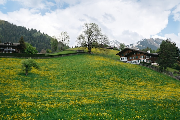 Landscape valley with plenty dandelions on swiss mountains background