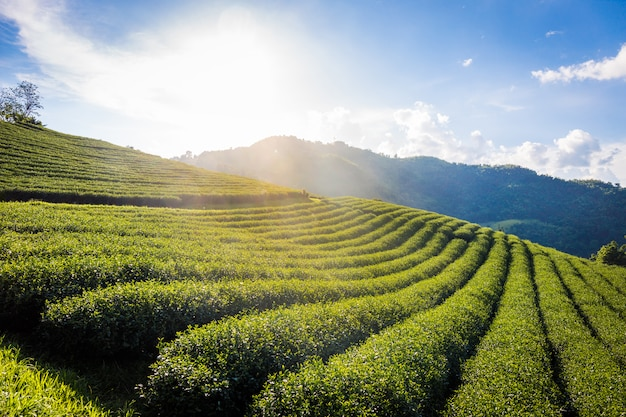 Landscape view of 101 tea plantation on blue sky background at chiang rai thailand.