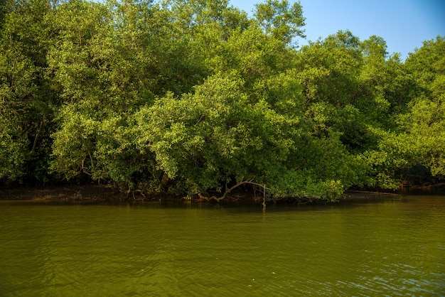 Landscape view of backwaters with coconut trees and mangrove forest at goa, india.