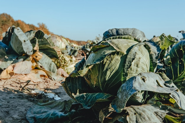 Landscape view of cabbage field