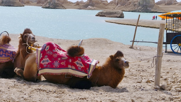 Landscape view of dachaidan wusute water yadan geological park and camel in qinghai china