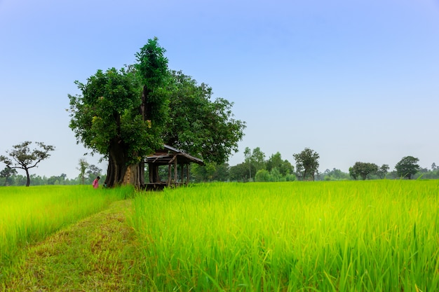 Landscape view over golden rice fields and old cottage cabin in morning