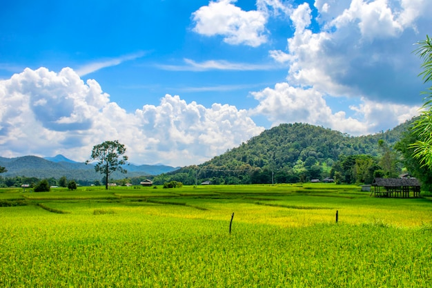 Landscape view of green rice field