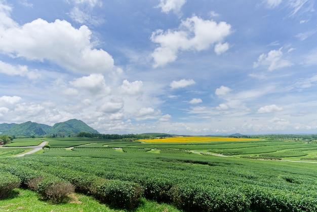 Landscape view of green tea plant field.
