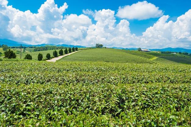 Choui fong farm、チェンライ、タイの茶園の風景ビュー