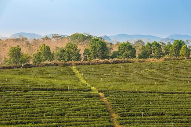 朝の青い空と茶畑の風景を見る。