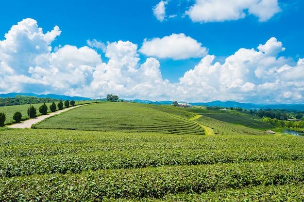 Landscape view of tea plantation at at choui fong farm, chiang rai, thailand