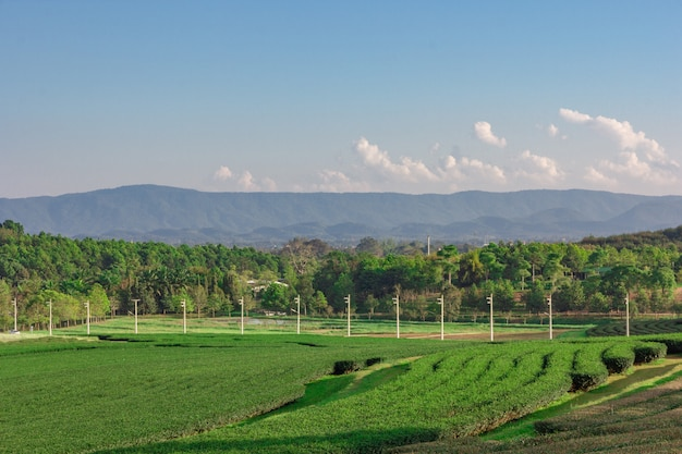 Landscape view of tea plantation with blue sky in afternoon