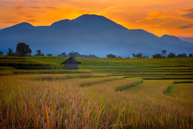 ランドスケープビューインドネシアの葉の山の美しく美しい田園自然の中で朝の黄色い田んぼの広大な広がり