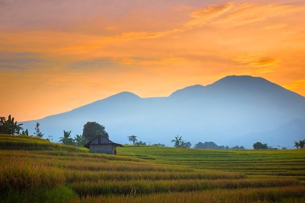 ランドスケープビューインドネシアのケムム村にある古い小屋のある朝の広大な黄色い田んぼ