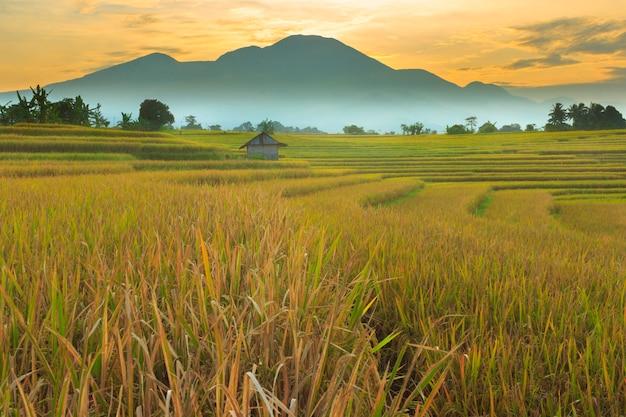 ランドスケープビューインドネシア、ベンクルの美しい赤青空と朝の広大な黄色い田んぼ