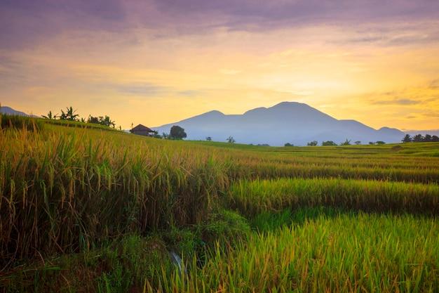 ランドスケープビューインドネシアの美しい赤青空と朝の黄色い水田の広大