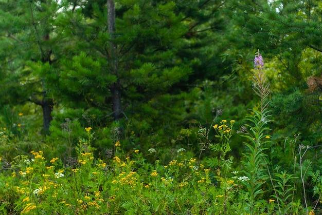 Пейзаж - дикая луговая трава и цветы на фоне размытого леса