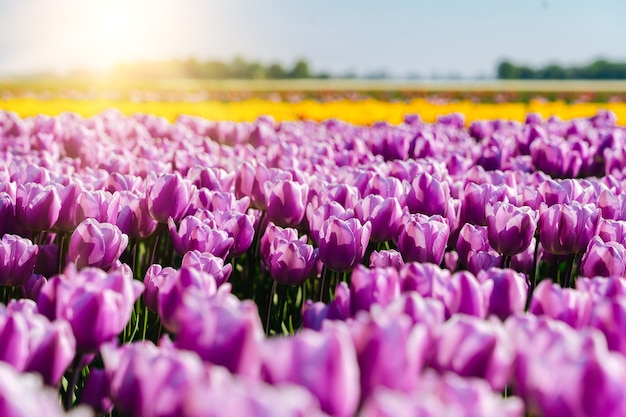 Landscape with beautiful tulips field in netherlands on spring. multicolor dutch tulip fields in dutch landscape holland. travel vacation concept.