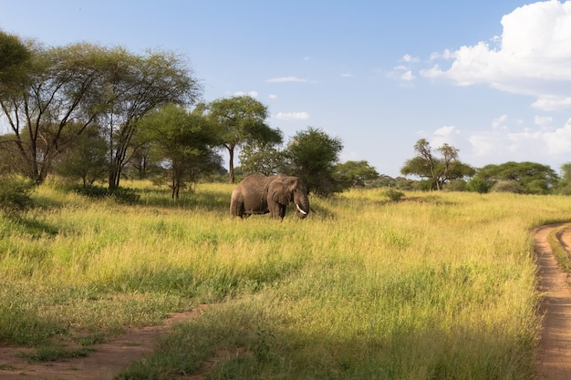 Пейзаж с большим слоном в зеленой саванне. тарангире, танзания