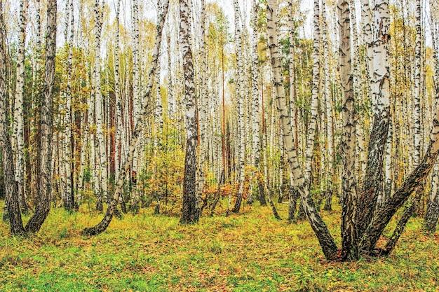 白樺の木立のある風景曇り秋の日