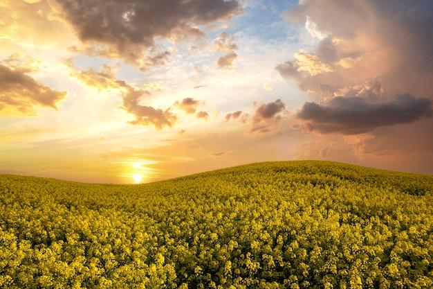 春に咲く黄色い菜の花畑と青い澄んだ空の風景。