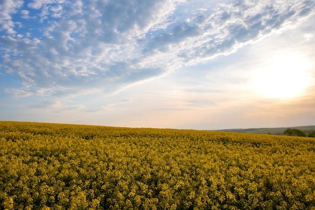 Пейзаж с цветущим желтым сельскохозяйственным полем рапса и голубым ясным небом весной.