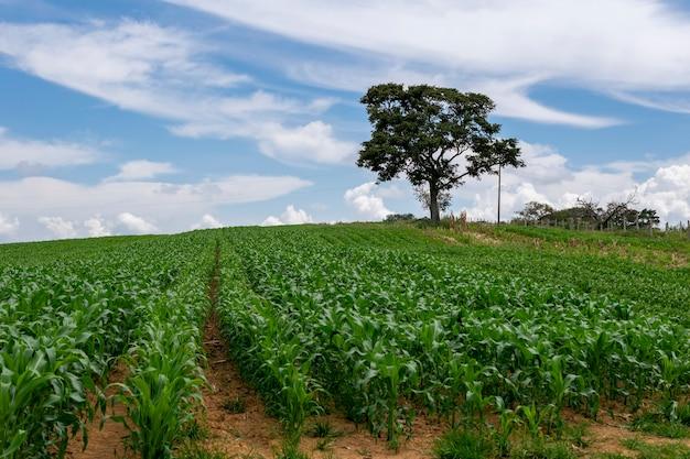トウモロコシ畑と孤立した木と風景