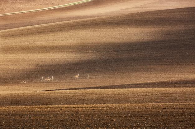 チェコ共和国、南モラヴィア州の耕作地にある小さな鹿のグループのいる風景。