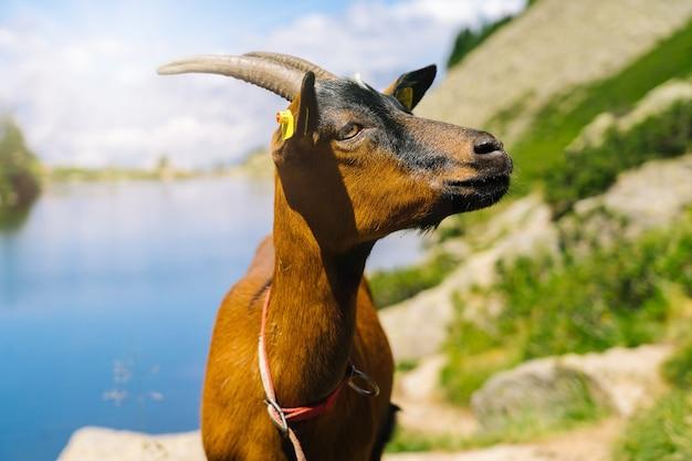ヨーロッパアルプスの山羊のいる風景。