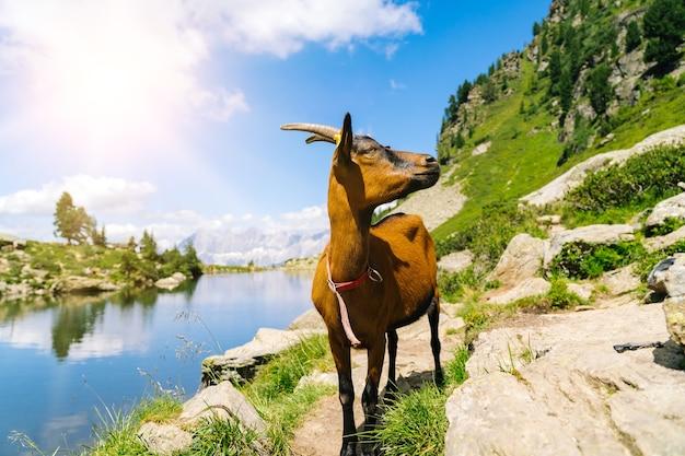 ヨーロッパアルプスの山羊のいる風景